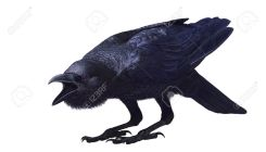 15853704-Jungle-crow-Corvus-macrorhynchos-with-open-beak-is-on-bent-legs-side-view-Painted-on-a-white-backgro-Stock-Photo
